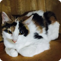 Adopt A Pet :: Patches (pure-bred Manx) - Witter, AR
