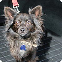 Adopt A Pet :: BamBam - Fountain Valley, CA