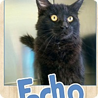Domestic Mediumhair Cat for adoption in Edwards AFB, California - Echo