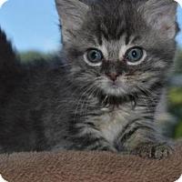 Adopt A Pet :: Ab Litter - Talia - Williamston, MI