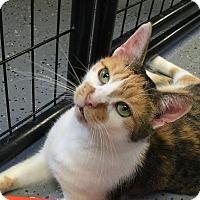 Adopt A Pet :: Amber - Holland, MI