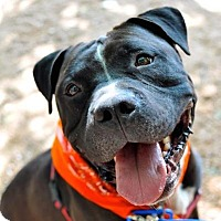 American Bulldog Mix Dog for adoption in Austin, Texas - Jester