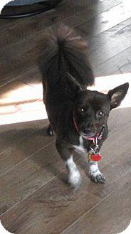 Pomeranian/Dachshund Mix Dog for adoption in Round Lake Beach, Illinois - Star