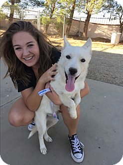 Siberian Husky/Shepherd (Unknown Type) Mix Puppy for adoption in Studio City, California - Snowball