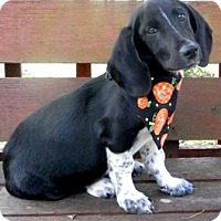 Basset Hound Mix Dog for adoption in Tyler, Texas - Snoopie