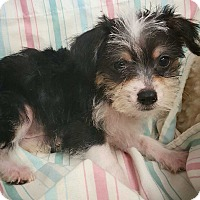 Adopt A Pet :: Cinder - Fredericksburg, TX