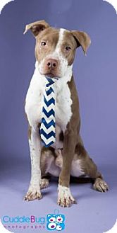 American Pit Bull Terrier Mix Dog for adoption in Irving, Texas - Coffee
