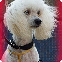 Adopt A Pet :: Suzy - Anaheim Hills, CA