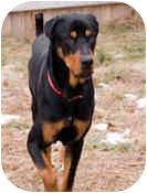 Eddie | Adopted Dog | 13 | Westford, MA | Rottweiler/Great ...