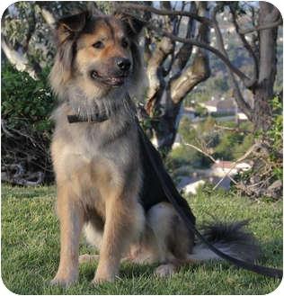 German Shepherd Australian Shepherd Mix Puppies Quinn   Adopted Dog   ...