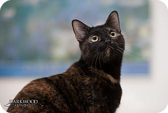 Domestic Shorthair Kitten for adoption in St. Louis, Missouri - Marta