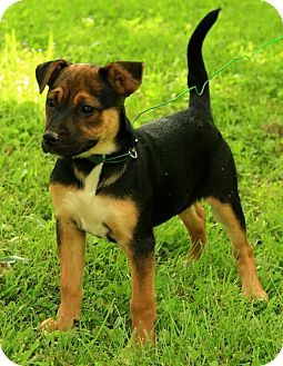 German Shepherd Dog Mix Puppy for adoption in Washington, D.C. - Madison