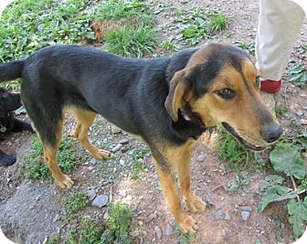Shepherd (Unknown Type)/Hound (Unknown Type) Mix Dog for adoption in Richmond, Virginia - Sage