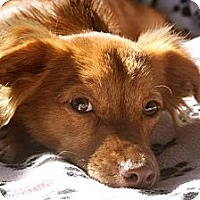Adopt A Pet :: CINNAMON GIRL - san diego, CA