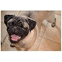 Adopt A Pet :: Pugsley - Avondale, PA