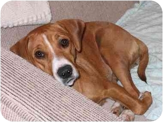 Vizsla/Beagle Mix Dog for adoption in Glendale, California - Carly