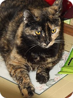 Domestic Shorthair Cat for adoption in Mesa, Arizona - Mia