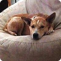 Adopt A Pet :: Delta Dawn - Austin, TX