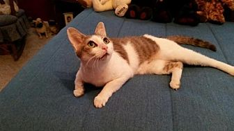 Domestic Shorthair Cat for adoption in Loganville, Georgia - kimber