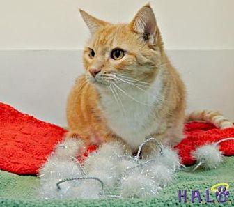 Domestic Shorthair Cat for adoption in Sebastian, Florida - Sonny