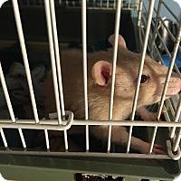 Adopt A Pet :: MONKEY - Philadelphia, PA