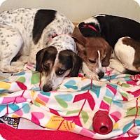 Adopt A Pet :: Lulu - Grafton, MA