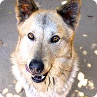 Adopt A Pet :: Foxy - La Mesa, CA