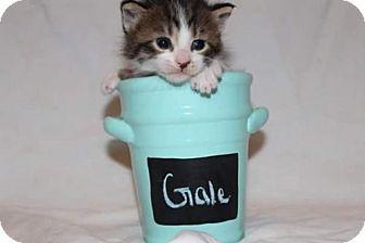 Domestic Shorthair Kitten for adoption in Fredericksburg, Virginia - Gale