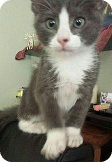 Domestic Shorthair Kitten for adoption in Burbank, California - Smokey