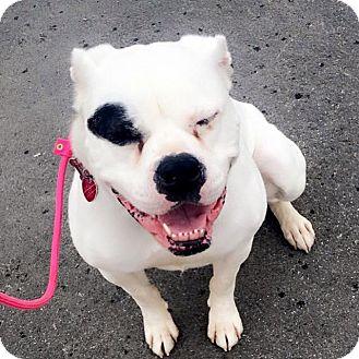 American Bulldog Mix Dog for adoption in Anchorage, Alaska - Fiona