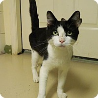 Domestic Shorthair Cat for adoption in Randleman, North Carolina - Homer