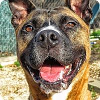 Pit Bull Terrier Mix Dog for adoption in West Babylon, New York - Tiger