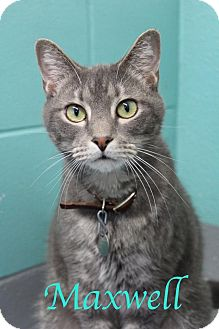 Domestic Shorthair Cat for adoption in Bradenton, Florida - Maxwell