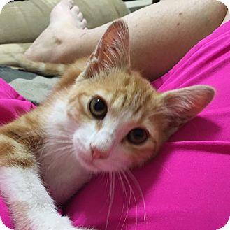 Domestic Shorthair Kitten for adoption in Huntsville, Alabama - Moriarty