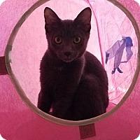Domestic Shorthair Kitten for adoption in Millersville, Maryland - Maisie