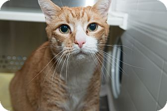 Domestic Shorthair Cat for adoption in New York, New York - Bogart