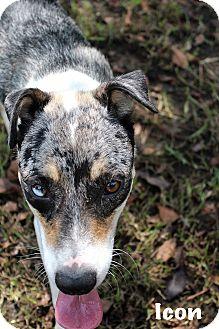 Australian Cattle Dog Mix Dog for adoption in Texarkana, Arkansas - Icon