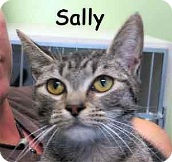 Domestic Mediumhair Cat for adoption in Warren, Pennsylvania - Sally