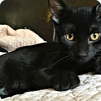 Adopt A Pet :: Bean, the Stunning Laid Back Snugger! - Brooklyn, NY