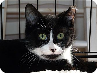 Domestic Shorthair Cat for adoption in Stafford, Virginia - Ghost