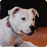 Pit Bull Terrier Mix Dog for adoption in St Paul, Minnesota - Etta