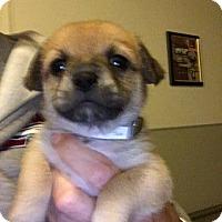 Pug Puppy for adoption in Gardena, California - Adelaide's Puppy #6