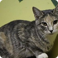 Domestic Shorthair Cat for adoption in West Des Moines, Iowa - Vera