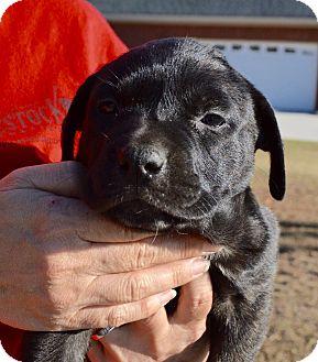 Boxer Mix Puppy for adoption in Allen town, Pennsylvania - Amanda-ADOPTED