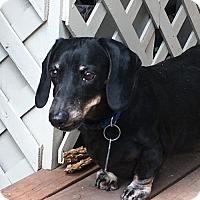 Dachshund Dog for adoption in Orangeburg, South Carolina - Adoption pending - Ajax