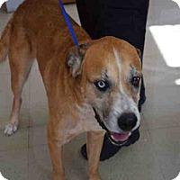 Mastiff Mix Dog for adoption in Newnan City, Georgia - Blue