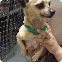 Adopt A Pet :: Amigo - Westminster, CA