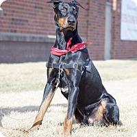 Adopt A Pet :: Kobe D3486 - Shakopee, MN