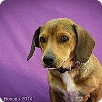 Adopt A Pet :: Leilani - Broomfield, CO