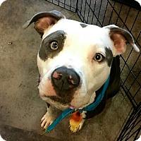 Adopt A Pet :: Sascha - Hollywood, FL